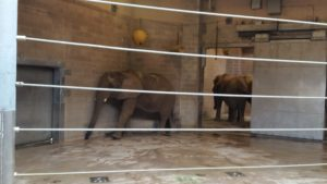 It was midday when I visited the elephants, and they were inside to get away from the hot sun. It was bathtime, as you can see from the elephant in the back.